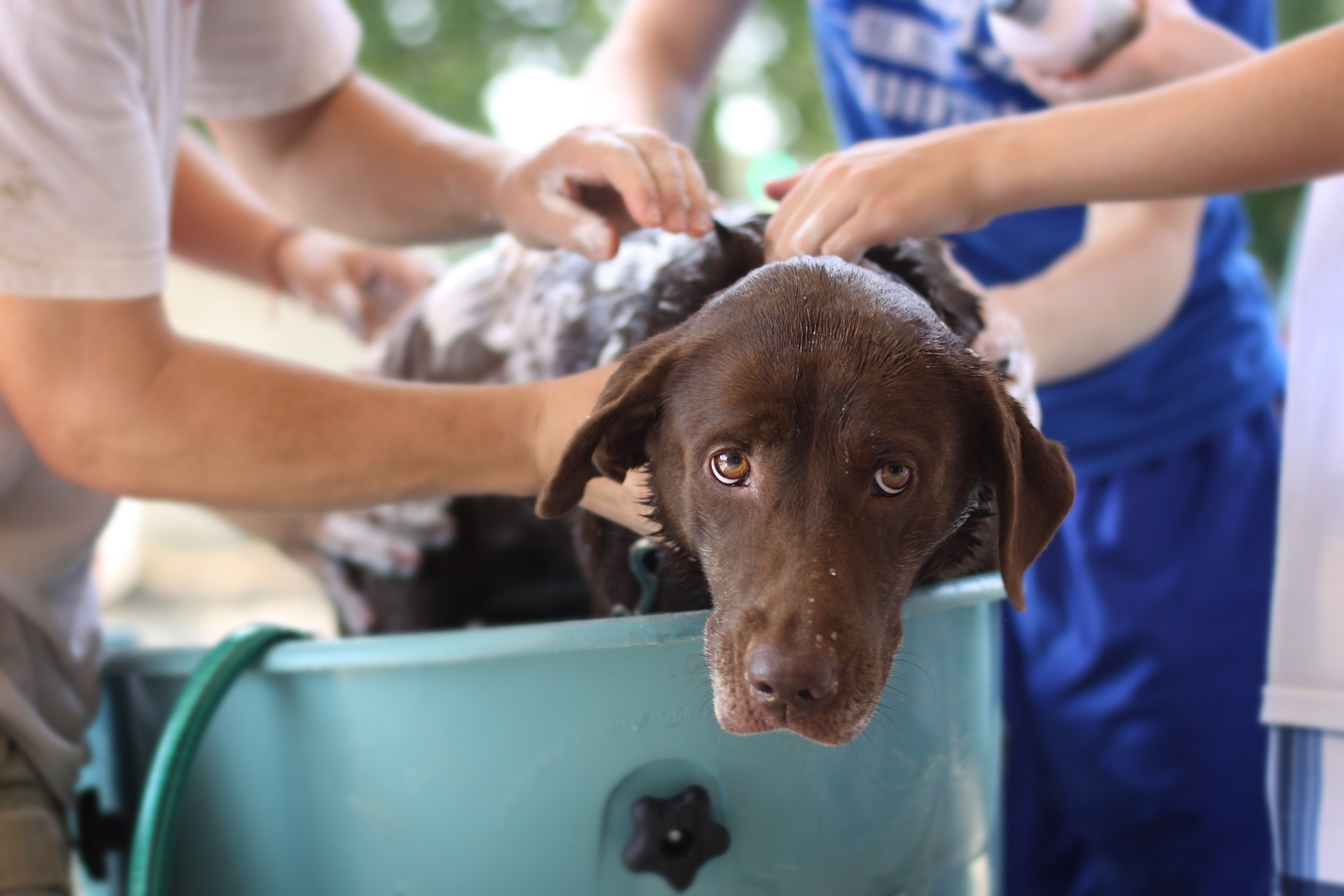 canine grooming - Brown Dog Being Washed In A Tub
