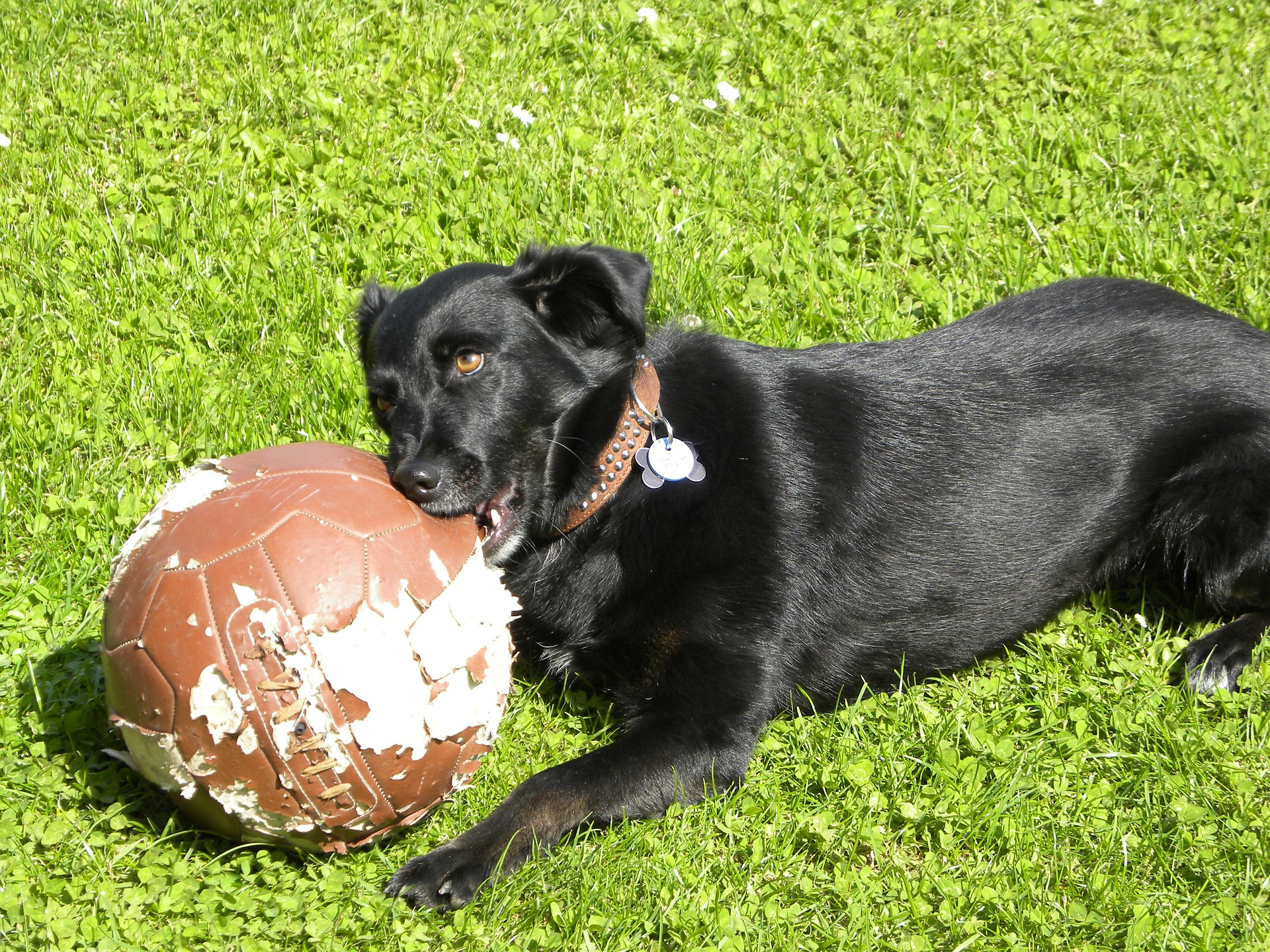 black dog chewing a football