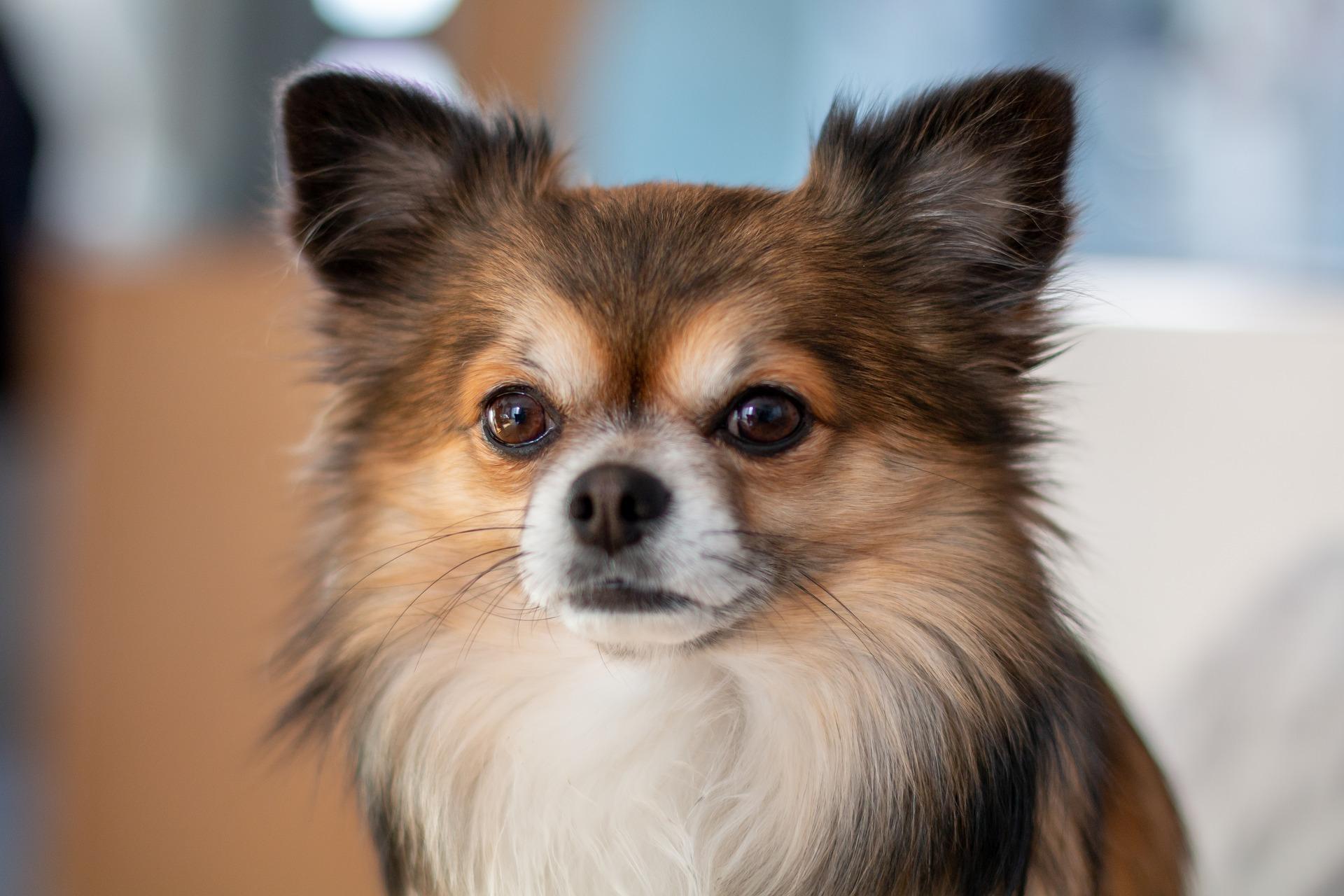 Why Do Chihuahuas Bark