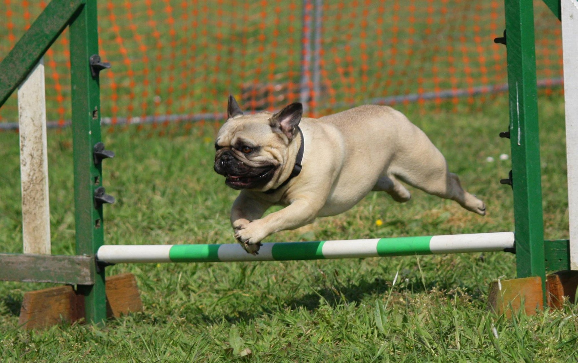 Are Pugs Easy To Train